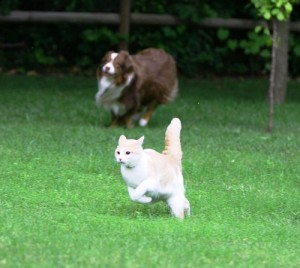 dog-chasing-cat-300x268